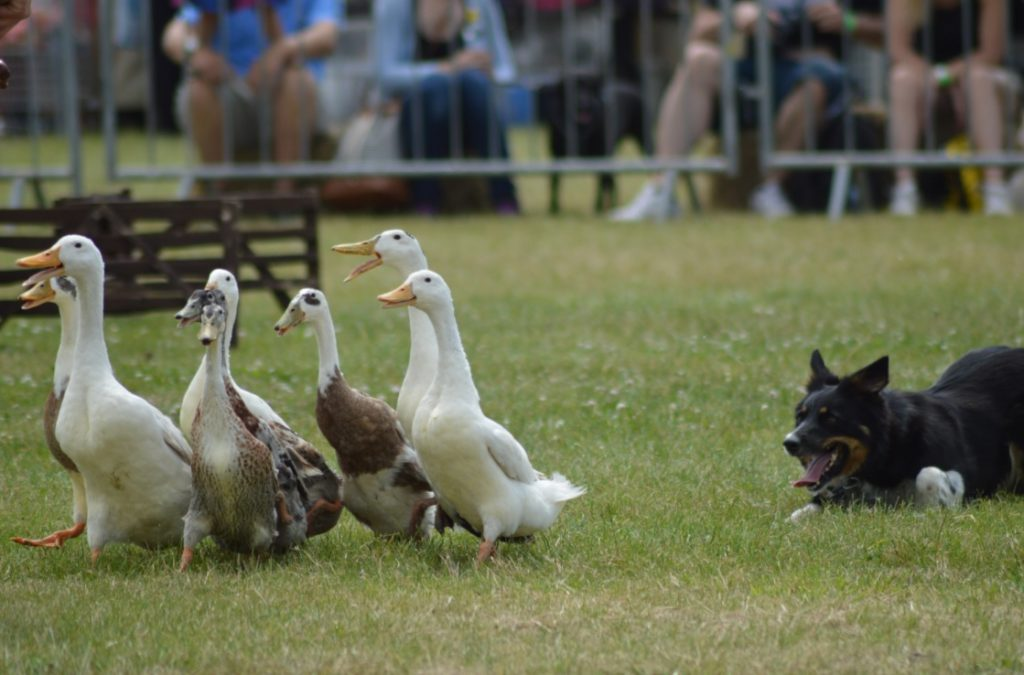 Dog & Duck Show close up
